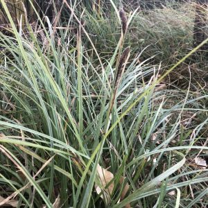 Carex barbarae