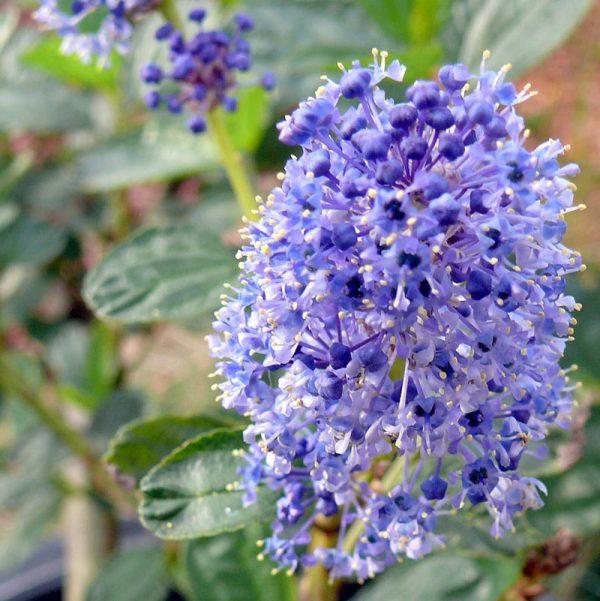 Ceanothus arboreus 'Owlswood Blue'
