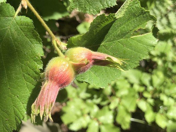Corylus cornuta var. californica