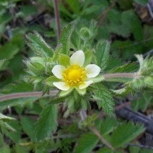 Drymocallis glandulosassp. reflexa