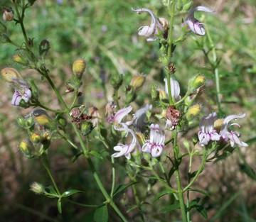Keckiella breviflora