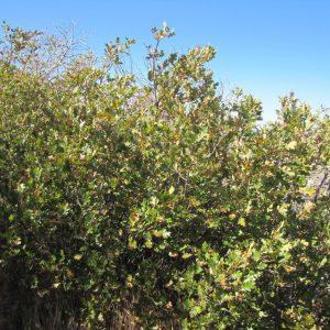 Quercus garryana semota