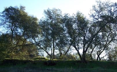 Quercus wislizenii