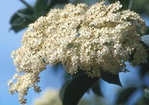 Sambucus nigra caerulea