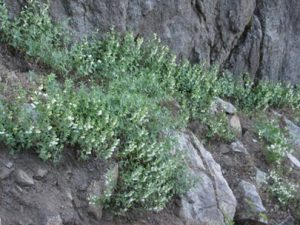 Scutellaria californica