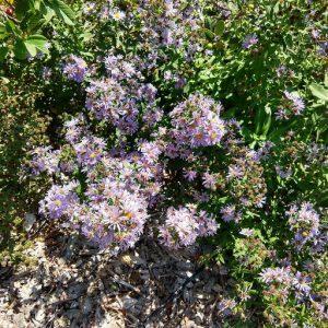 Symphyotrichum chilense 'Purple Haze'